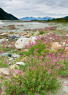 alaska photography workshops_tatshenshini_alsek_river_wildlife_photography_wildflowers