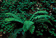 bigbasin_redwoods_ferns